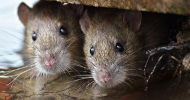 ratones dentro de casa
